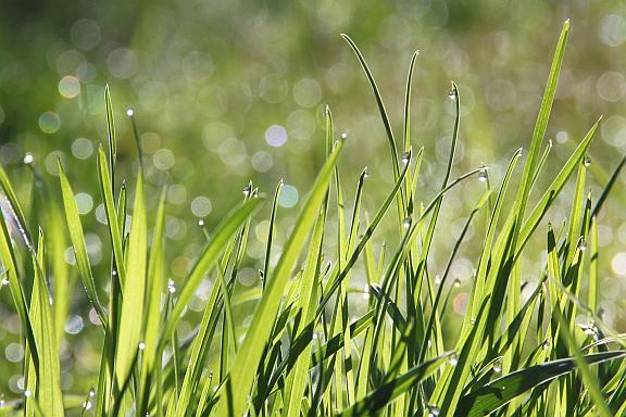dew drops on grass_web